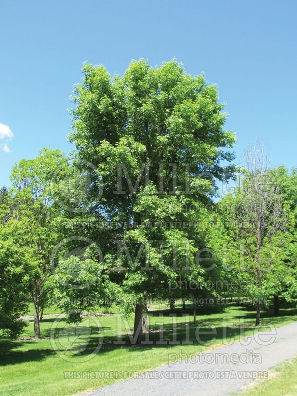 Fraxinus Marshall's Seedless (Ash) 1