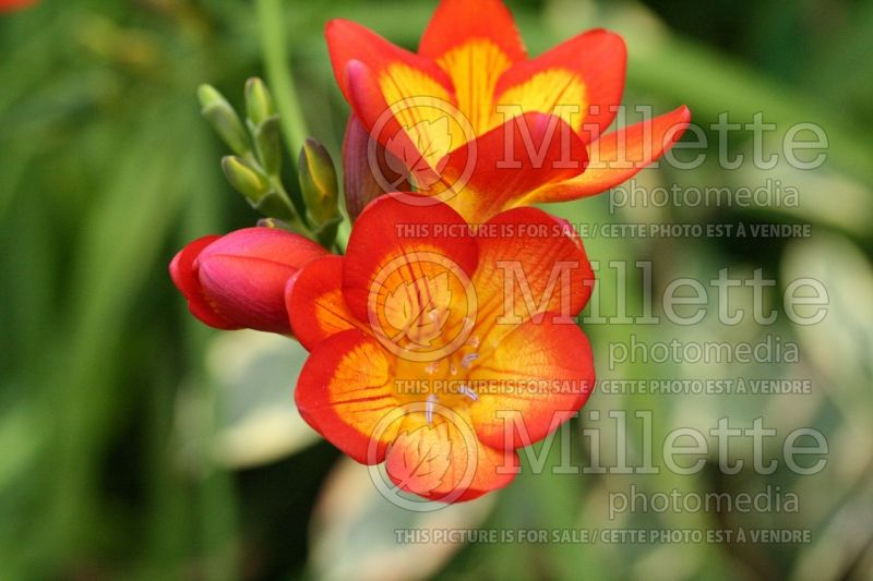 Freesia Oberon (Freesia) 1