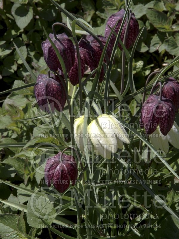 Fritillaria Alba (Crown Imperial or Kaiser's Crown) 7