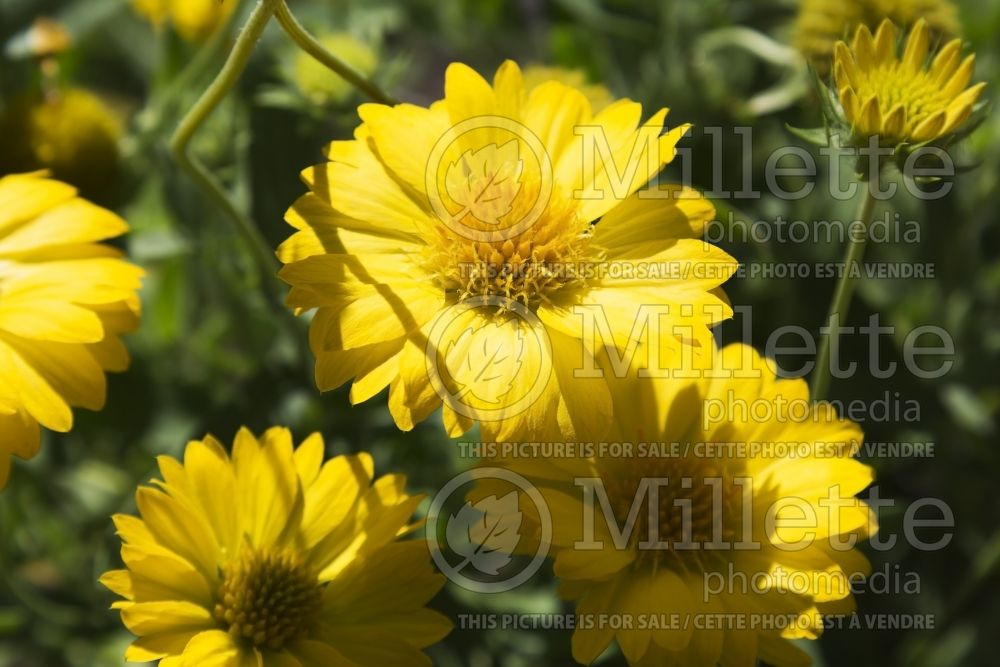 Gaillardia Heat it Up Yellow (Blanket Flower) 2