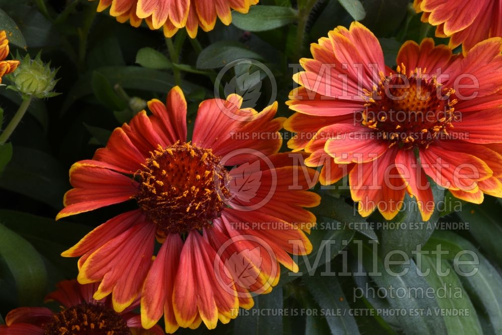 Gaillardia SpinTop Yellow Touch (Blanket Flower) 2