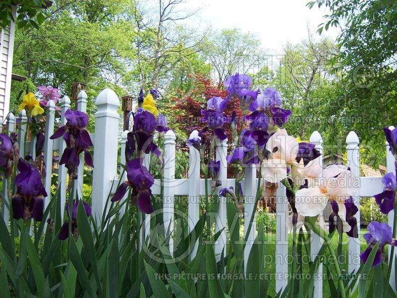 Garden mixed with iris (landscaping) 1
