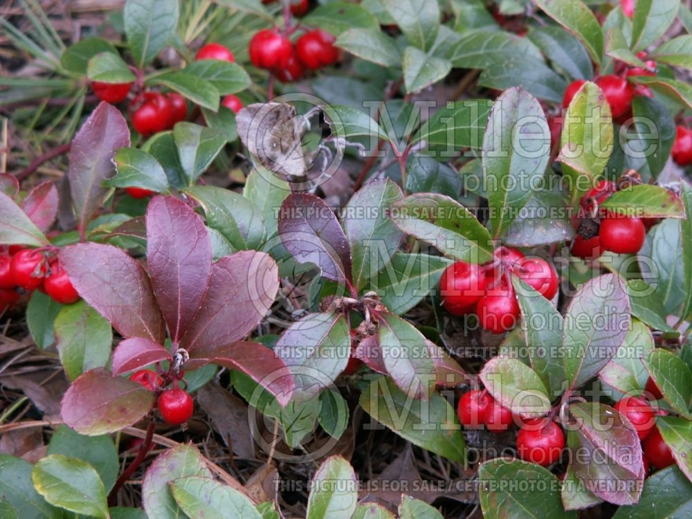 Gaultheria procumbens (Wintergreen) 7