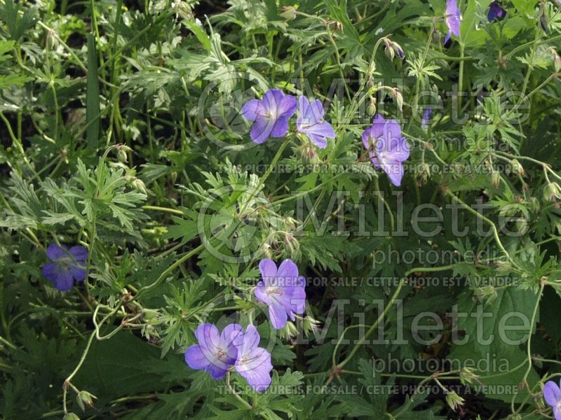Geranium Johnson's Blue (Cranesbill) 2