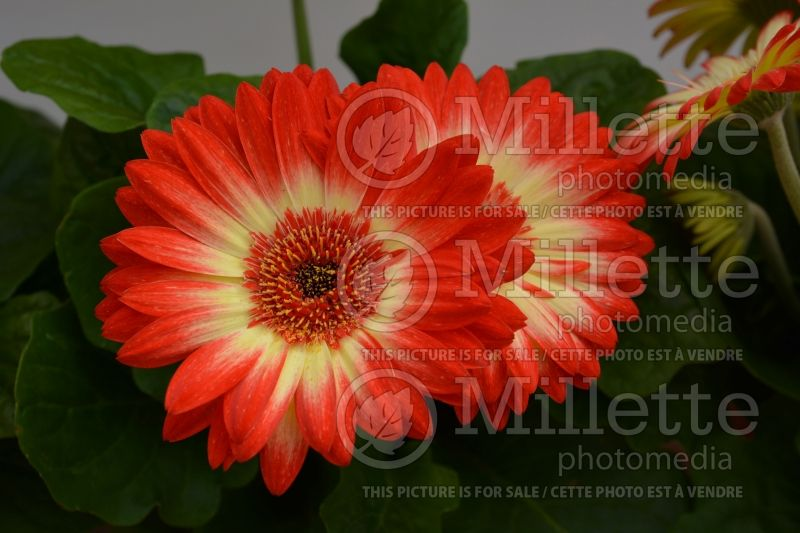 Gerbera Revolution Bicolor Red Lemon (African Daisy)  1