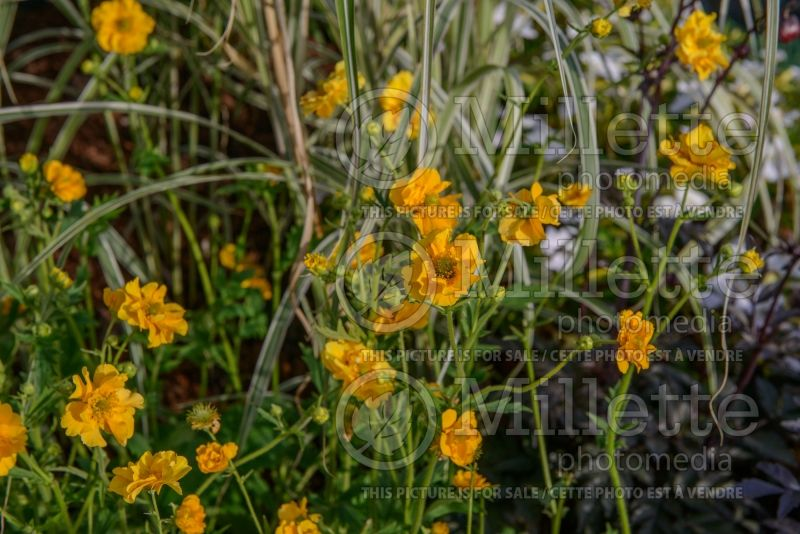Geum Lady Stratheden aka Gold Ball (Avens, Geum) 2