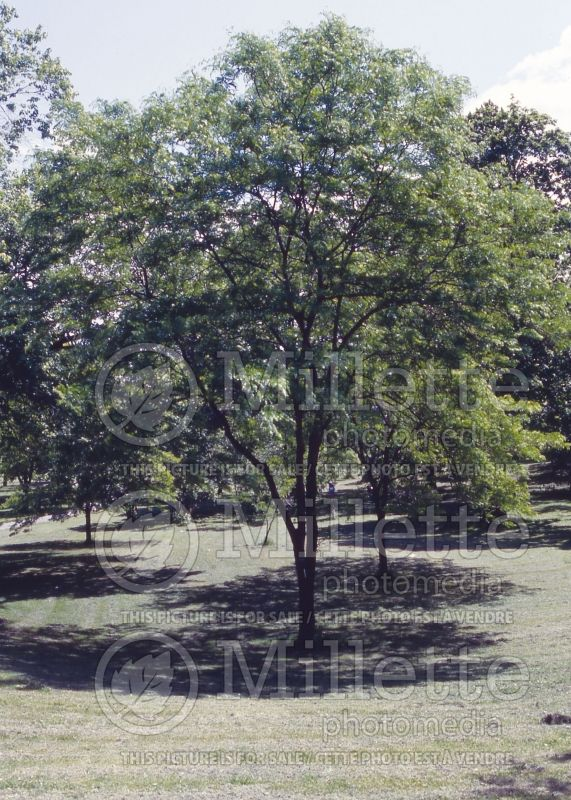 Gleditsia Imperial (Honey Locust) 1