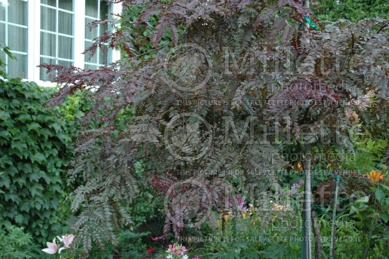 Gleditsia Ruby Lace (Honey Locust) 1