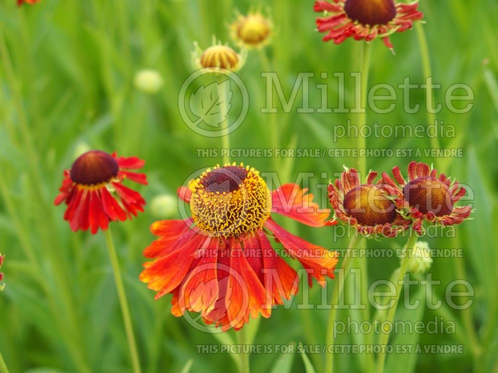 Helenium Moerheim Beauty (Sneezeweed Dog-tooth Daisy) 3