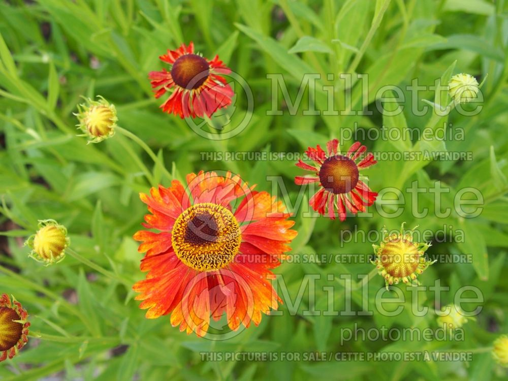 Helenium Moerheim Beauty (Sneezeweed Dog-tooth Daisy) 4