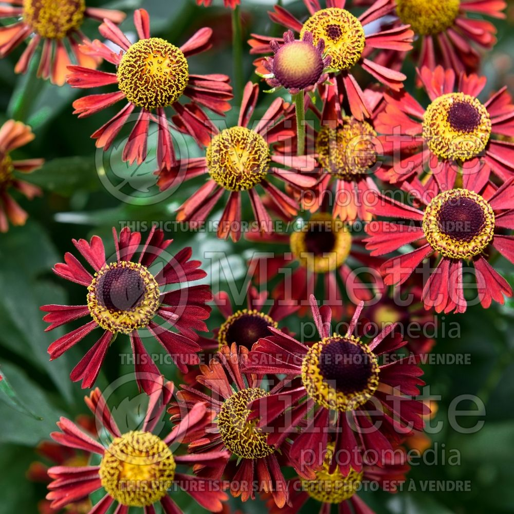 Helenium Ruby Tuesday (Sneezeweed) 3
