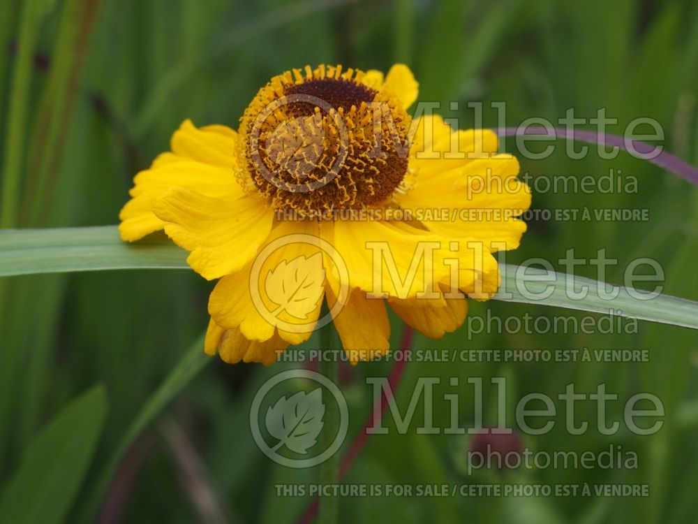 Helenium The Bishop (Sneezeweed Dog-tooth Daisy) 1