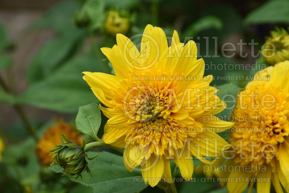 Helianthus Happy Days (Perennial Sunflower) 3