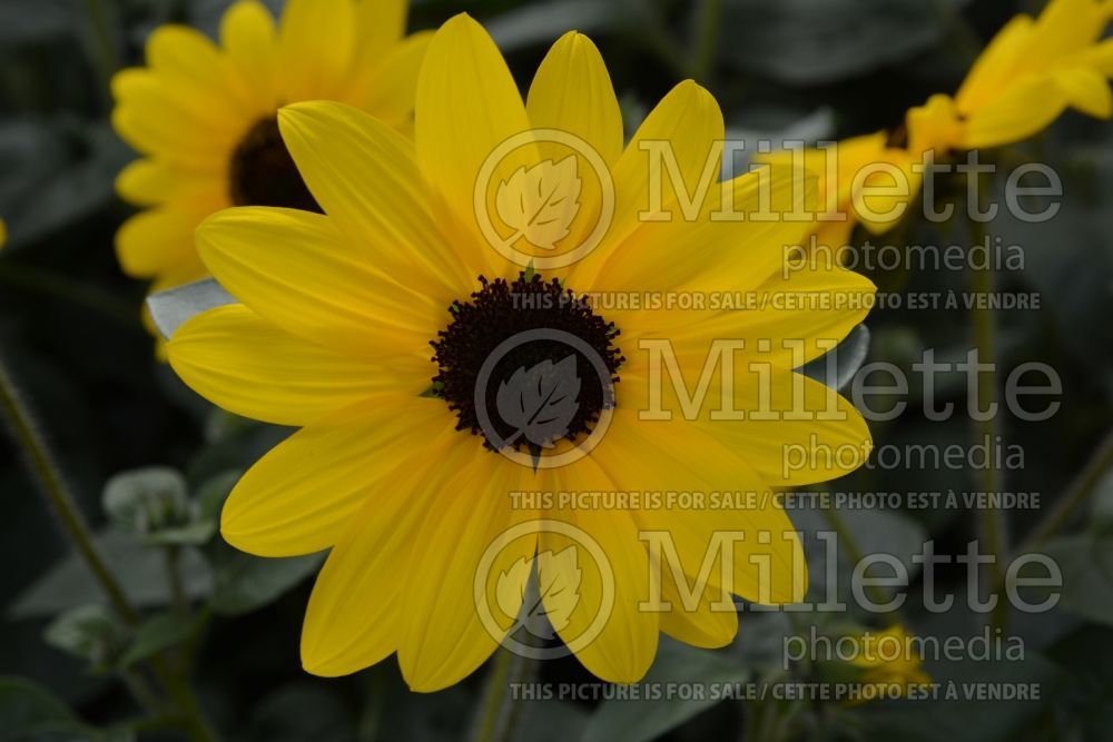 Helianthus Sunfinity Yellow Dark Center (Perennial Sunflower) 1