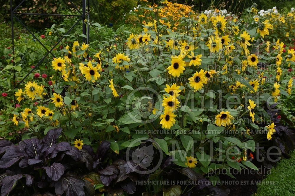 Helianthus Sunfinity Yellow Dark Center (Perennial Sunflower) 2