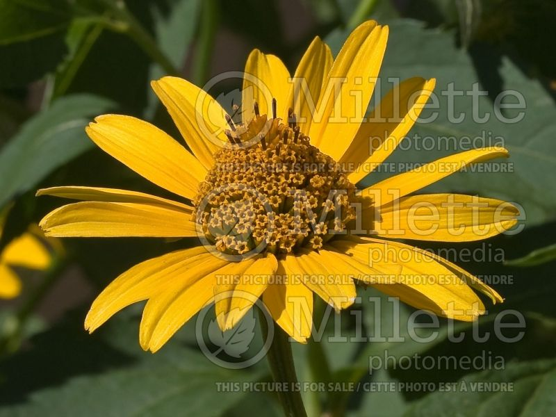Heliopsis Summer Nights (False Sunflower) 2