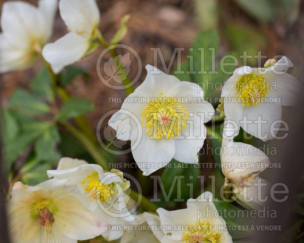 Helleborus Gold Collection Josef Lemper (Lenten Rose) 1