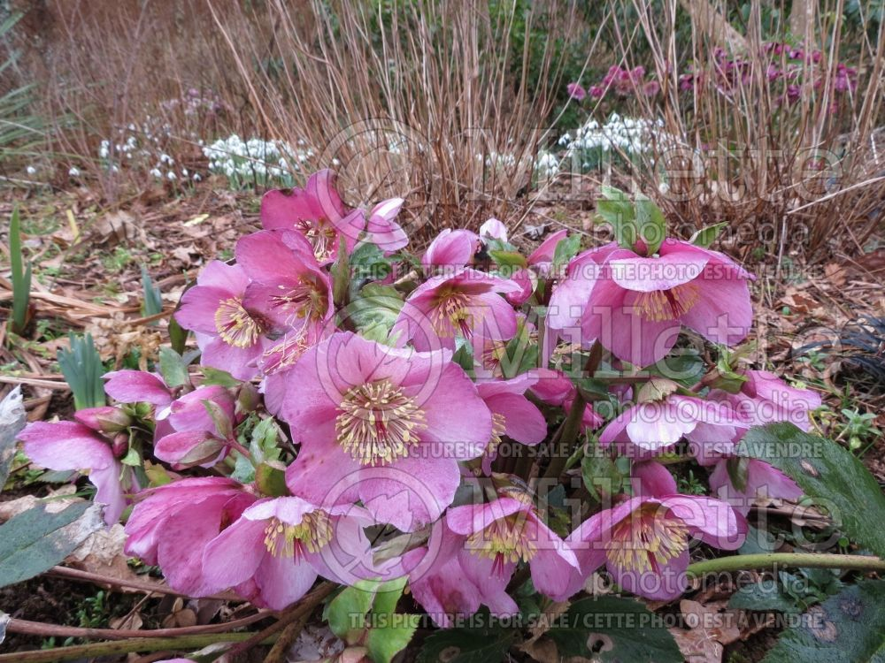 Helleborus Gold Collection Mme Lemonnier (Lenten Rose) 2