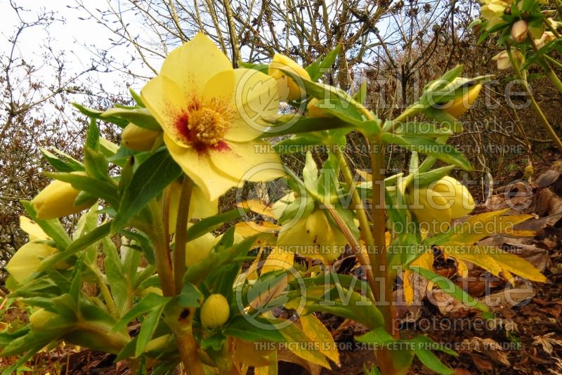 Helleborus Ashwood Goldfinch (Lenten Rose) 2