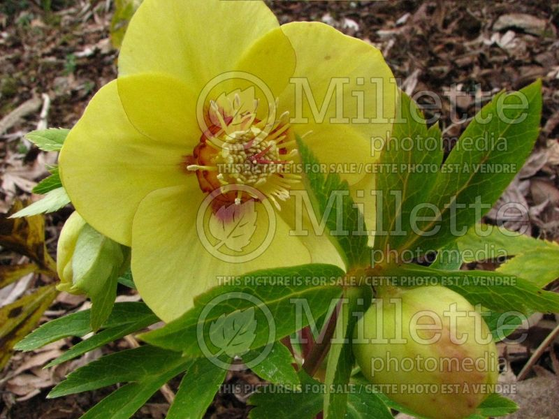 Helleborus Ashwood Yellow Hammer (Lenten Rose) 1
