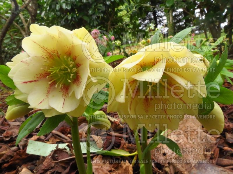 Helleborus Winter Jewels Golden Lotus (Lenten Rose) 4