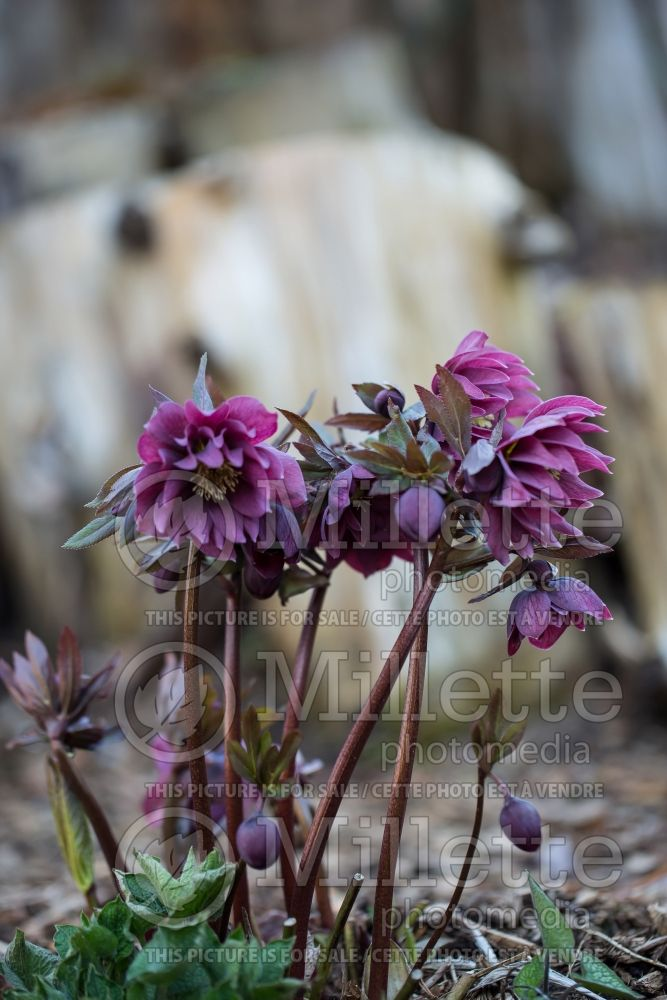 Helleborus Kingston Cardinal (Lenten Rose) 4
