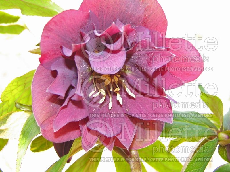 Helleborus Kingston Cardinal (Lenten Rose) 1