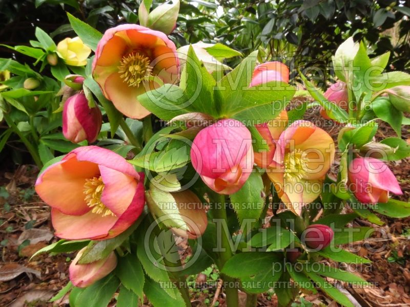 Helleborus Mango Magic (Lenten Rose) 3