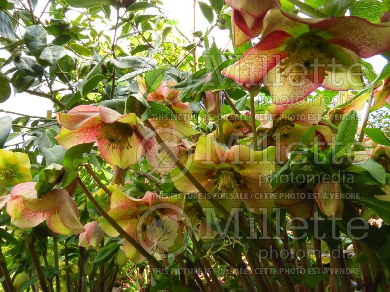 Helleborus Mango Magic (Lenten Rose) 5