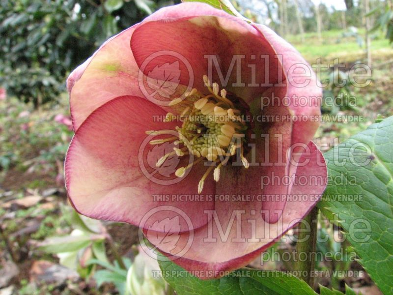 Helleborus Mango Magic (Lenten Rose) 6