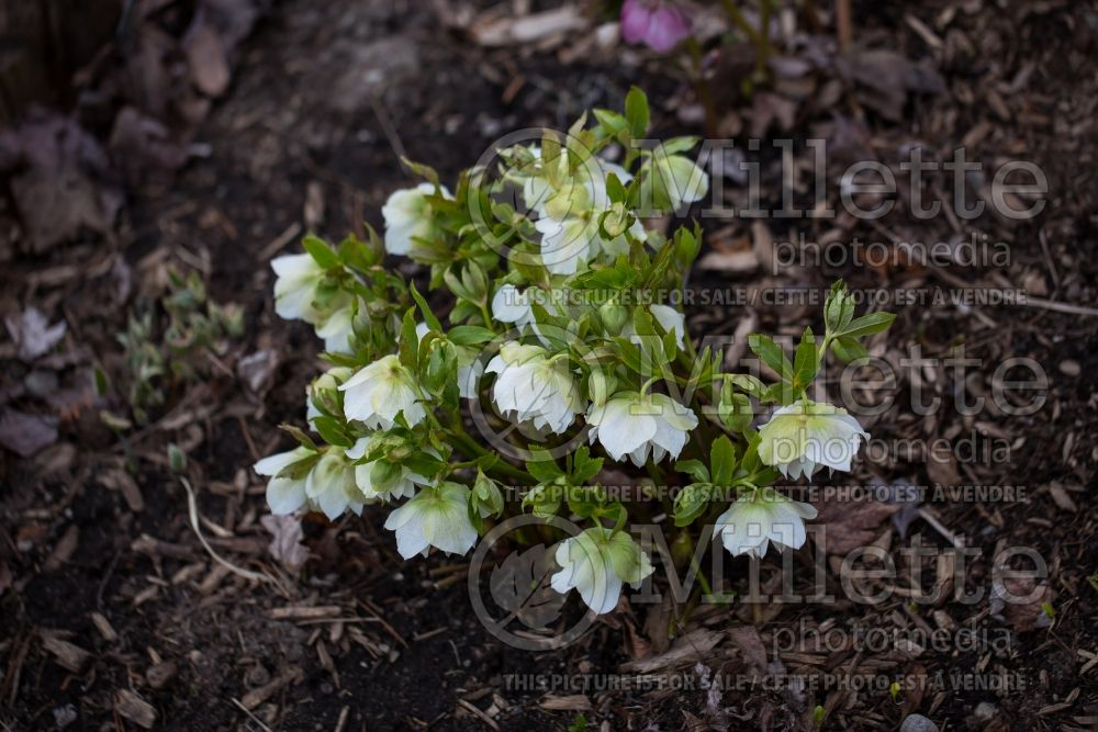 Helleborus Swirlin' Skirts (Lenten Rose) 4