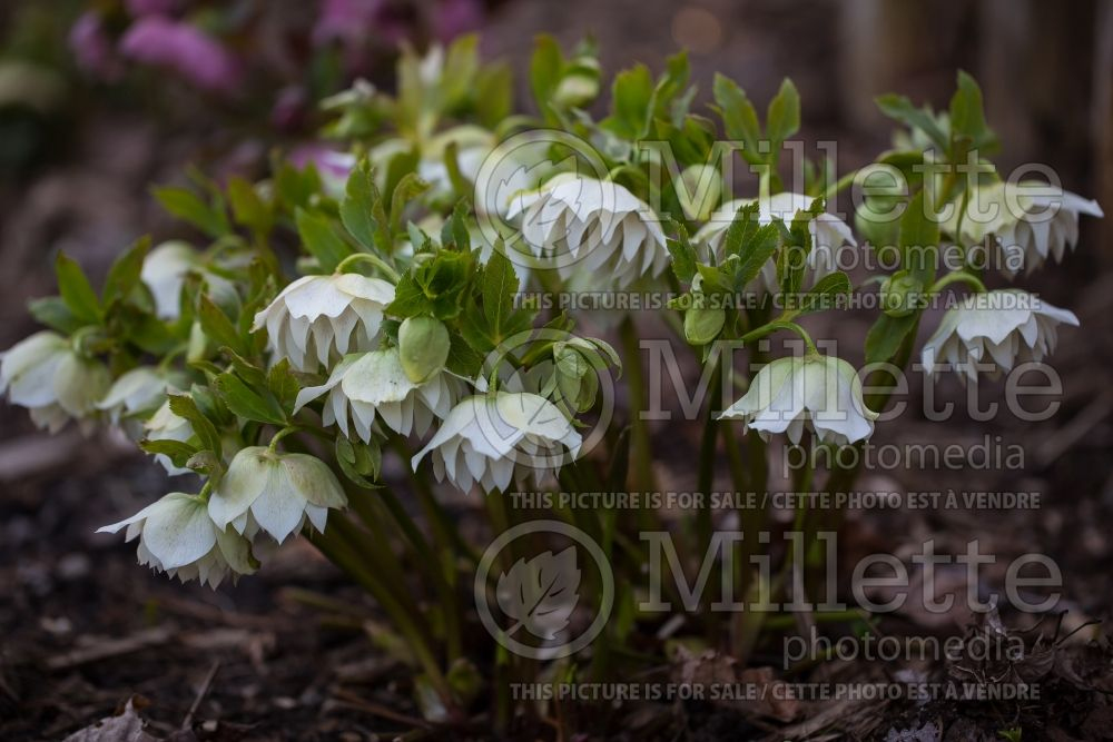 Helleborus Swirlin' Skirts (Lenten Rose) 3