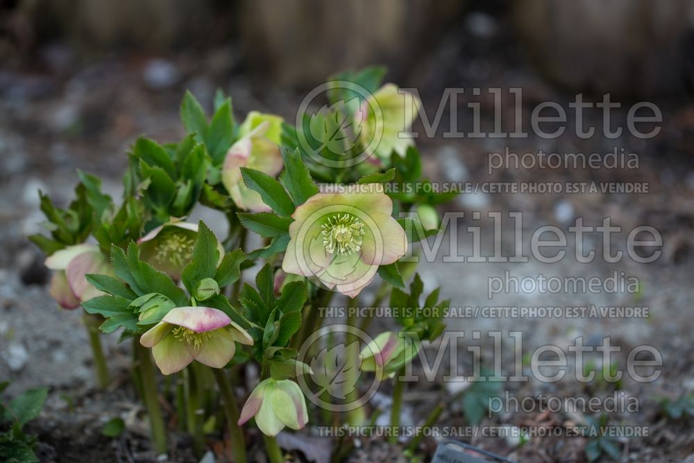 Helleborus Winter Dreams Apricot (Lenten Rose) 2