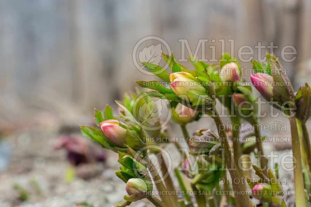 Helleborus Winter Dreams Apricot (Lenten Rose) 3