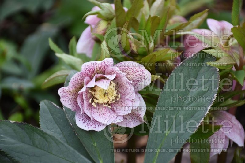 Helleborus Winter Dreams Elegance White (Lenten Rose) 1