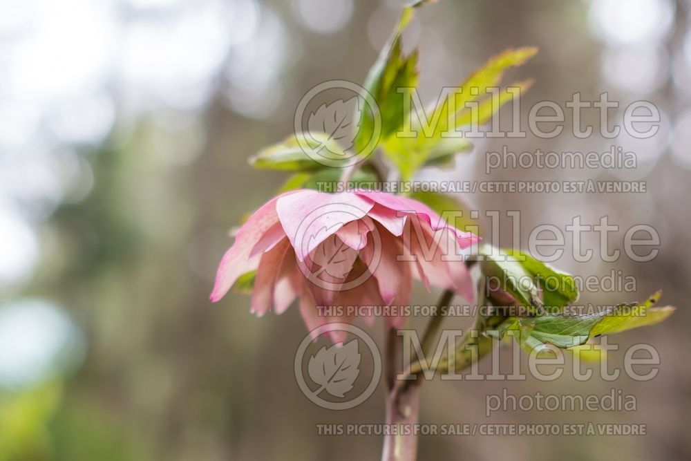 Helleborus Winter Jewels Amber Gem (Lenten Rose) 3