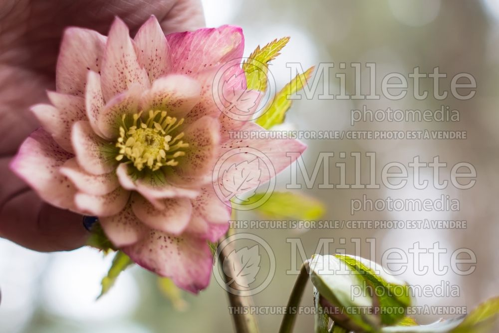 Helleborus Winter Jewels Amber Gem (Lenten Rose) 4