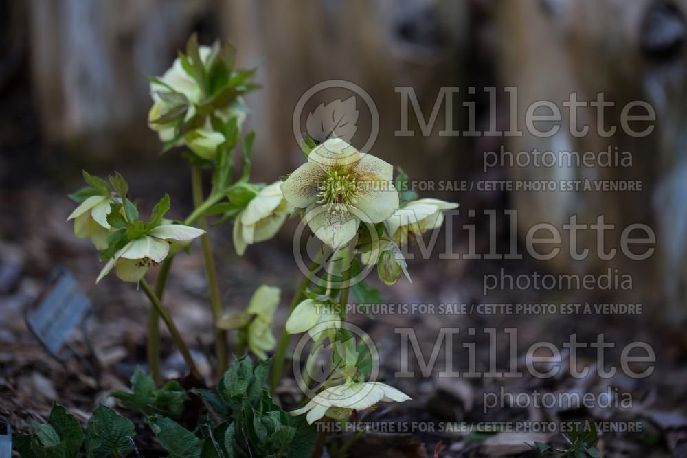 Helleborus Winter Jewels Apricot Blush (Lenten Rose) 2