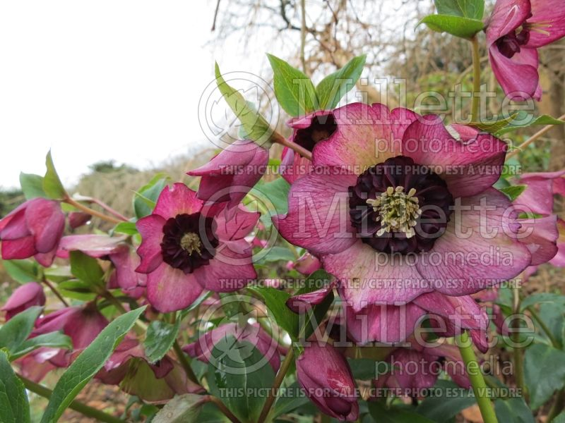 Helleborus Winter Jewels Cherry Blossom (Lenten Rose) 8