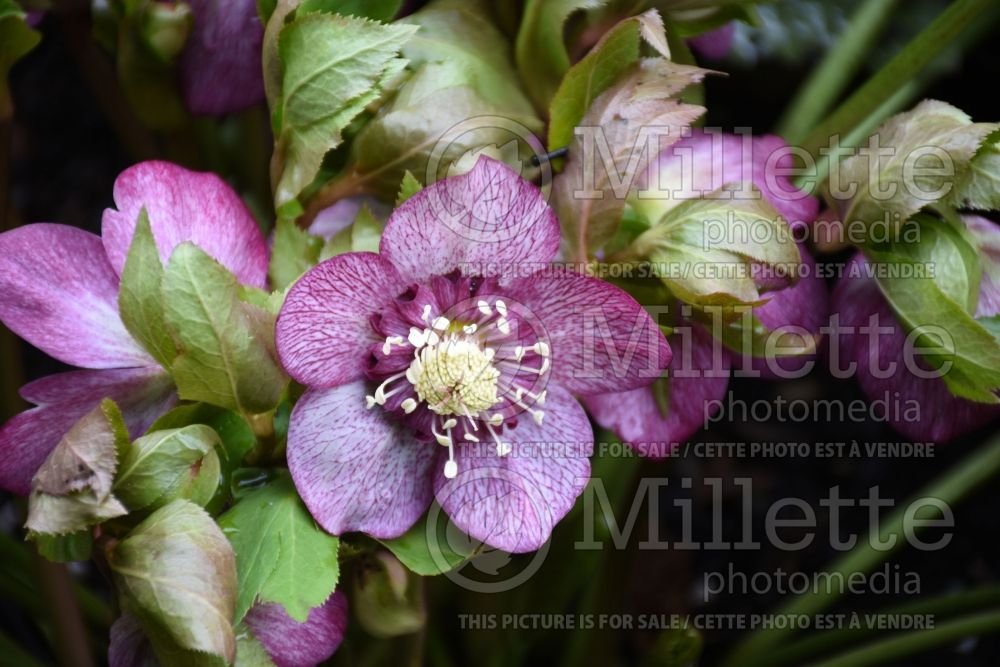 Helleborus Winter Jewels Cherry Blossom (Lenten Rose) 9