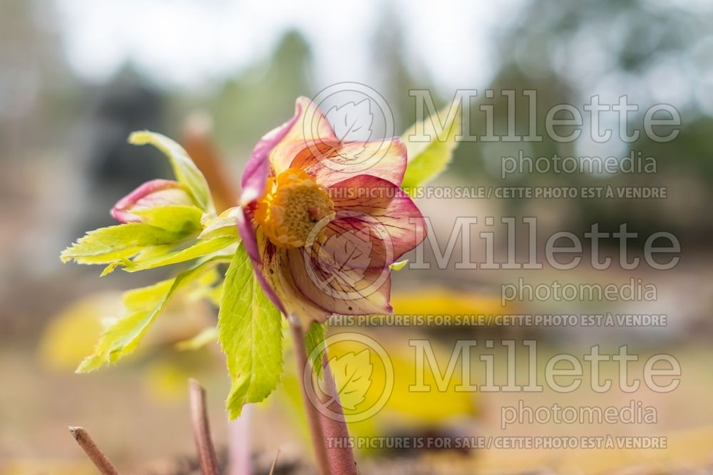 Helleborus Winter Jewels Golden Sunrise (Lenten Rose) 1