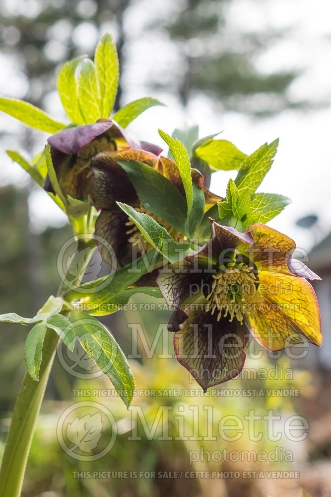 Helleborus Winter Jewels Jade Star (Lenten Rose) 2