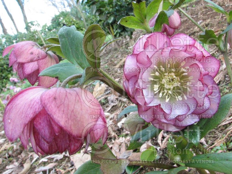 Helleborus Winter Jewel Peppermint Ice (Lenten Rose) 2