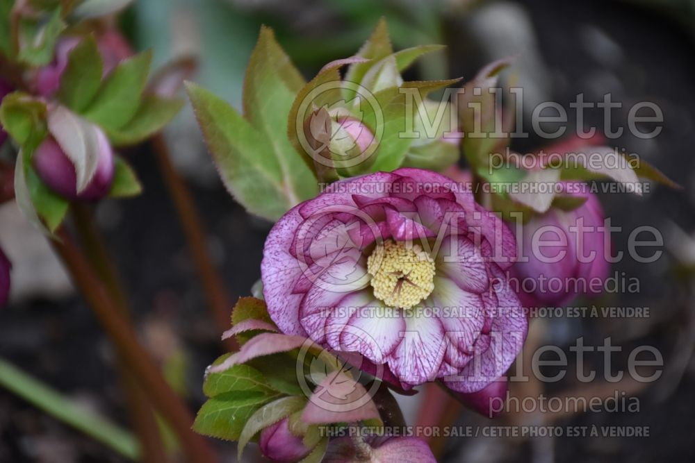 Helleborus Winter Jewel Peppermint Ice (Lenten Rose) 3