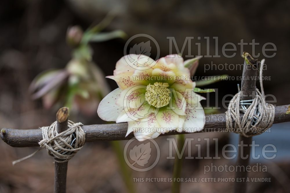 Helleborus Winter Thrillers Peppermint Ruffles (Lenten Rose) 1