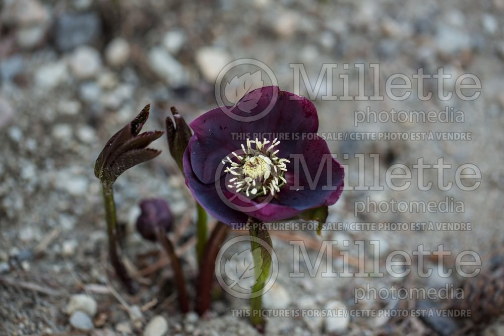 Helleborus Winter Thrillers Red Racer (Lenten Rose) 1