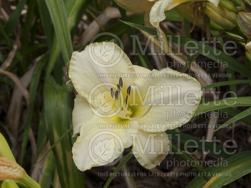 Hemerocallis Artic Snow (Daylily) 2