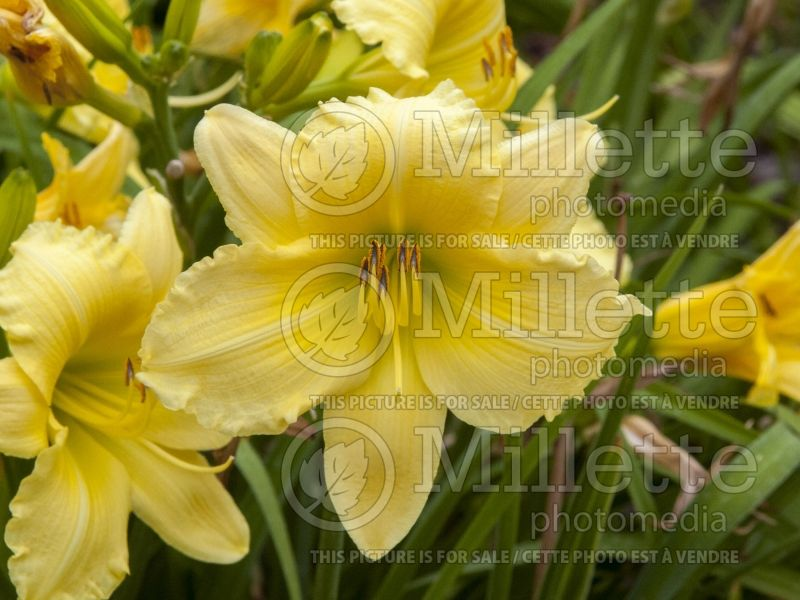 Hemerocallis Big Time Happy (Daylily) 2