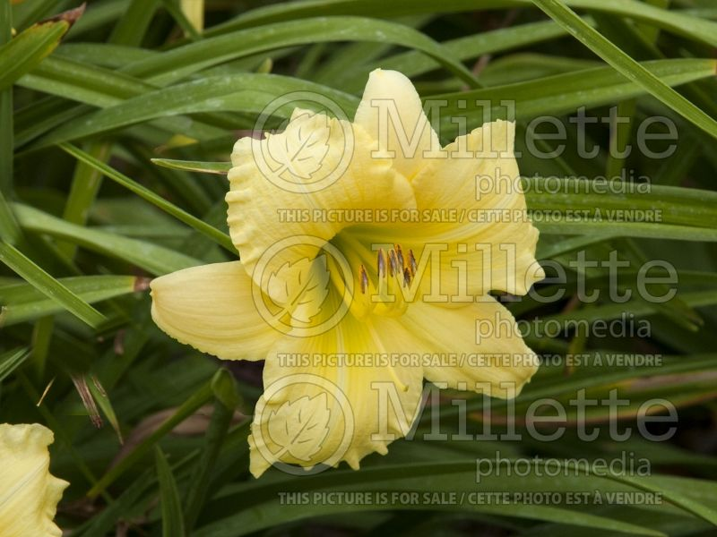 Hemerocallis Big Time Happy (Daylily) 3