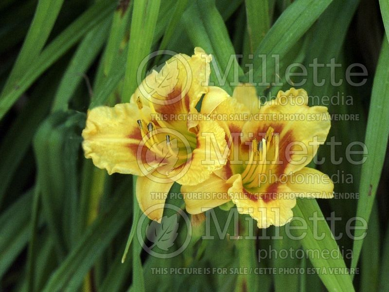 Hemerocallis Fire King (Daylily) 4